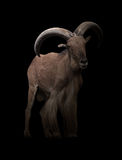 Manliga barbary får i mörkret Arkivfoton