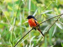 Manliga bergpepparfåglar Royaltyfria Bilder