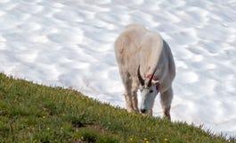 Manliga Billy Mountain Goat på orkankulle-/Ridge snowfield i olympisk nationalpark i Washington State arkivfoto