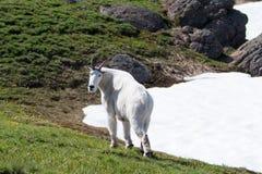 Manliga Billy Mountain Goat på orkanRidge snowfield i olympisk nationalpark i Washington State Royaltyfri Foto
