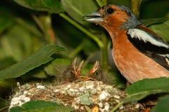 Manliga bofink och fågelungar i redet, closeup Royaltyfri Foto