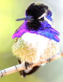Manliga Costa Hummingbird Arkivbild