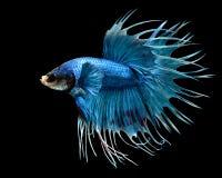 Manliga Crowntail Betta Fish Isolated på en svart bakgrund Royaltyfria Bilder