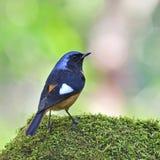 Manliga Daurian Redstart Royaltyfri Fotografi