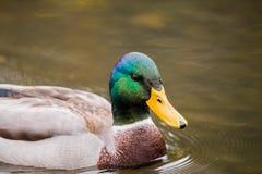 Manliga Drake Duck Floating på vatten Royaltyfri Bild