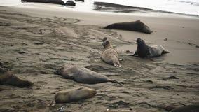 Manliga elefantskyddsremsor kryper på stranden arkivfilmer