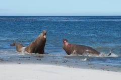 Manliga elefantskyddsremsor som slåss - Falkland Islands Royaltyfria Bilder