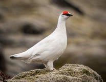 Manliga Fjällripa-Island Arkivfoton