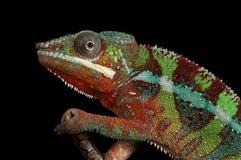 Manliga Furcifer för Ambilobe panterkameleont pardalis fotografering för bildbyråer