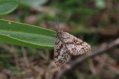 Manliga gemensamma Heath Moth (den Ematurga atomariaen) arkivbilder