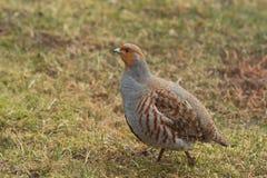 Manliga Grey Partridge Fotografering för Bildbyråer