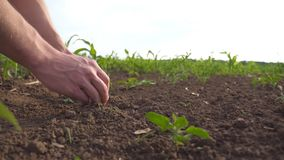 Manliga händer av bonden rymmer handfulljordningen i hans armar och kontrollerar jordfertilitet på cornfield Unga grabbhandlag arkivfilmer