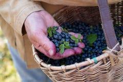 Manliga händer med nya mogna blåbär Samla bärbegrepp arkivbild