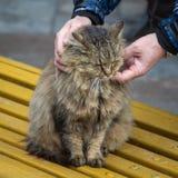 Manliga händer smeker ett stort fluffigt kattsammanträde på en bänk i gatan arkivbilder