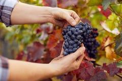 Manliga händer som rymmer blåa druvor på skörden royaltyfri bild