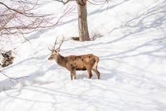 Manliga hjortar i en parkera i nordliga Italien på vinter Royaltyfria Bilder