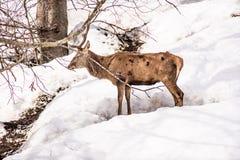 Manliga hjortar i en parkera i nordliga Italien på vinter Arkivfoto