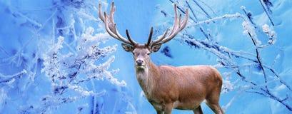 Manliga hjortar i vinterskog royaltyfria bilder