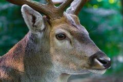 Manliga hjortar stänger sig upp Royaltyfri Bild
