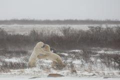 Manliga isbjörnar som står och knuffar medan falskt munhuggas Arkivbilder
