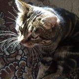 Manliga katter Arkivfoton