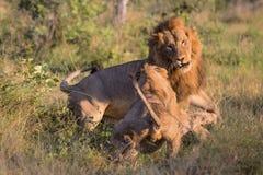 Manliga lejon i den Kruger nationalparken Arkivbilder