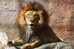 Manliga Lion Face Arkivbild