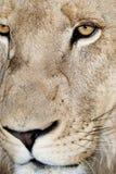 Manliga Lion Face Royaltyfri Bild