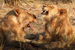 Manliga Lion Interaction royaltyfri fotografi