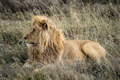 Manliga Lion Profile Royaltyfria Bilder