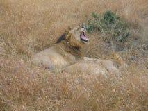 Manliga Lion Roar Masai Mara Royaltyfri Bild