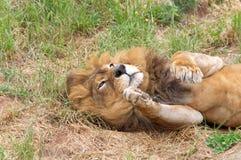 Manliga Lion Rolling On Back arkivfoton