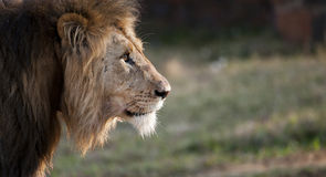 Manliga Lion South Africa Royaltyfri Foto
