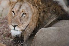 Manliga Lion South Africa royaltyfri foto
