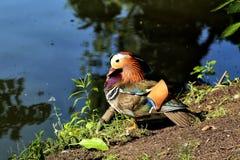 Manliga mandarinänder på sjön royaltyfri foto
