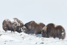 Manliga myskoxar som slåss i snön Royaltyfri Foto