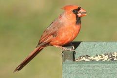 Manliga nordliga huvudsakliga cardinalis på en förlagematare Arkivfoton