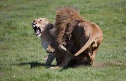 Manliga och kvinnliga afrikanska lejon royaltyfria foton
