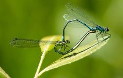 Manliga och kvinnliga allmänningblåttDamselflies som parar ihop på ett blad royaltyfri bild