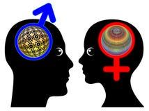 Manliga och kvinnliga hjärnor är olika stock illustrationer