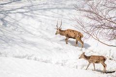 Manliga och kvinnliga hjortar som går i det insnöat en parkera i nordligt I Royaltyfri Fotografi