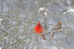 Manliga och kvinnliga kardinaler i snöstorm Royaltyfri Bild