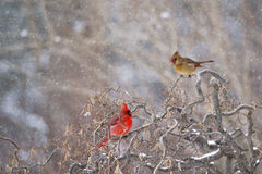 Manliga och kvinnliga kardinaler i vinter Fotografering för Bildbyråer