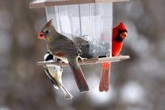 Manliga och kvinnliga kardinaler och dunig hackspett Royaltyfri Foto