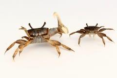 Manliga och kvinnliga krabbor (Ucaminax) Arkivfoto