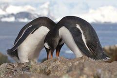 Manliga och kvinnligGentoo pingvin som bygga bo nära Arkivfoton