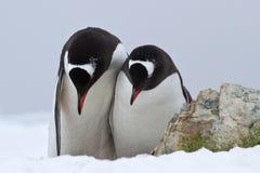 Manliga och kvinnligGentoo pingvin som står sidan - förbi - sidan och bugar Royaltyfri Foto