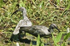 Manliga och kvinnligPlumaceous ibins Arkivbilder