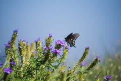 Manliga Pipevine Swallowtail fotografering för bildbyråer