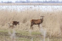 Manliga röda hjortar i oostvaarders plassen nära lelystad i Nederländerna Royaltyfri Bild
